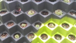 Sempervivum species planted August 2013