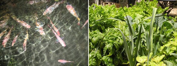 Aquaponics = Fish + Veg