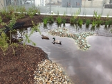 Mallard ducks on Song of Songs Roof