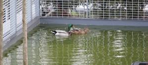 Mallard ducks on Song of Songs Roof