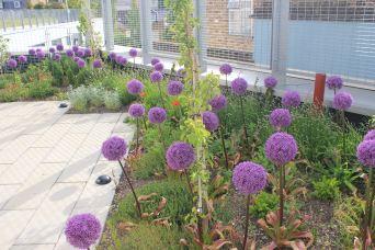 Purple Allium Bulbs