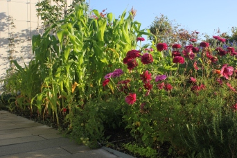 Cosmos and sweetcorn