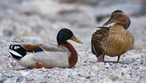 ducks-mallard-water-bird-duck-bird-162316.jpeg