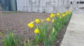 Beautiful daffodils blooming