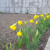 Beautiful daffodils blooming