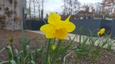 Up close with the daffodil