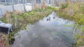 Mallard ducks are back in the pond!
